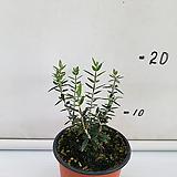 올리브나무-6.9