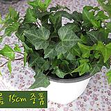청아이비(Hedera helix_ ivy) 지름 15cm 중품관엽화분 공기정화|Heder helix