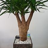 유카/대형식물/인테리어식물/공룡꽃식물원|