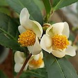 녹차나무(녹차동백)