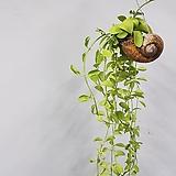 소라green/소라green/롱/小品-먼지먹는식물Tillandsia공중식물