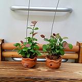 [진아플라워] 알콩달콩  애플그린 토분걸이 짝꿍세트 공중식물