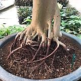 킹벤자민/벤자민/관엽식물/대형식물|
