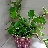 스파트필름 호프쎌렘 공기정화식물 실내식물 음지식물