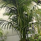 겐차야자나무3대 미세먼지탁월한 공기정화수 대품|