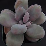 아메치스4 Graptopetalum amethystinum