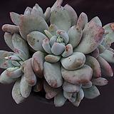 후레뉴(목대적심)3 Pachyphtum cv Frevel