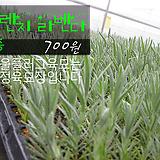 프렌치라벤다 허브모종 700원(5000원이상 배송가능)