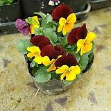 비올라모종/식용꽃/추위강한꽃모종|