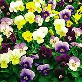 비올라 꽃, 4색세트(12개구성상품),초화
