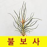 [풀장사]틸란드시아 불보사/에어플랜트/공기정화/미세먼지제거/행잉플랜트/반려식물
