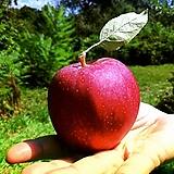 미얀마후지 왜성 사과나무 분달이 상품♥왜성사과♥최신 부사품종 극과대종♥사과 묘목|Sedum torereasei
