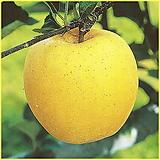 황錦사과시나노黄金결실주♥花盆째배송♥사과나무사과묘목노란사과
