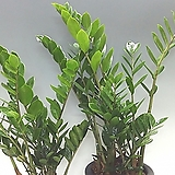 금전수-돈나무 Zamioculcas zamiifolia