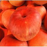 후지 부사 사과나무 화분상품/분달이♥왜성사과♥맛있는 사과|Sedum torereasei