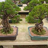최고명품해송소나무근상-애경사 소장용|