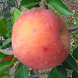 사과 (결실주)|
