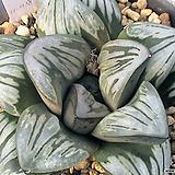 실버무치카 소묘 (Haworthia 'Silver Mutica', offset)