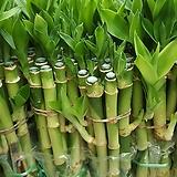 개운죽 10P (20cm) 수경재배식물 인테리어 
