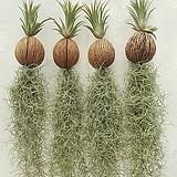 이오난사 코코넛 수염틸란 (대형) 공기정화식물 미세먼지식물 