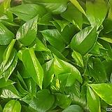 초보자가 키우기 쉬운 스킨 스킨답서스 음직식물 넝쿨식물 수경재배