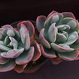 레인드랍(목대적심) Echeveria Frill Raindrops