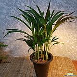 야레카야자(봄맞이감사세일)  공기정화식물