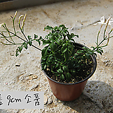학 자스민(학쟈스민 White Jasmine/winter jasmine) 지름 9cm 소품화분 (단일품목 구매시 5천원 이상 배송가능)|
