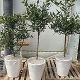 월계수나무(특대품) 수형랜덤(키:120-170센치)|