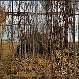 (묘목 특가 판매) 대왕대추 (다왕자우) 10개 묶음 보상용 수목 |