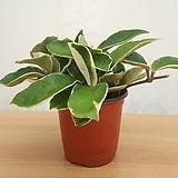 호야 (소품) / 공기정화식물|Hoya carnosa