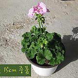 핑크씨즐(pinksizzle) 페라고늄 지름 15cm 중품화분 제라늄