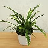 더피 (소품) / 공기정화식물|