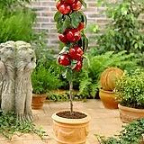 팅커벨 기둥사과 왜성 신품종 화분상품♥미니사과 왜성사과♥사과나무♥미니 사과 애기사과|Echeveria Agavoides Tinkerbell