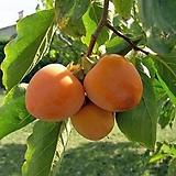 야오끼 대봉감 분달이 특대품♥당년결실 성목♥꽃눈이 나와 있어요.♥대봉 감나무|