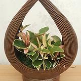 촛불 호야 완성화분 / 인테리어화분|Hoya carnosa