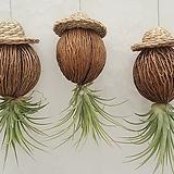 밀짚모자 코코넛 이오난사 / 미세먼지식물 공기정화식물|