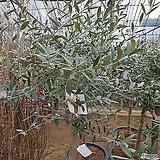 올리브나무(특대품)|