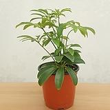 홍콩야자 (소품) / 공기정화식물|