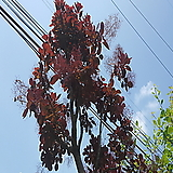 자엽안개나무(스모크트리)R3,R4|
