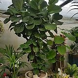 특대품 떡갈고무나무 2미터50이상|Ficus elastica