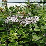 라일락 키 80cm (분)~1M|Echeveria cv Peale von Nurnberg