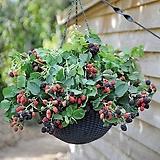 열매열린~자가수정 스위트 블랙베리 화분상품♥블랙 베리 나무|Graptopetalum blackberry