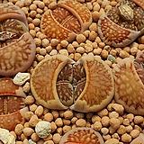 국장옥种子10립