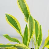 소백산 자생 황금 비비추 희귀종♥무늬종 변이종|