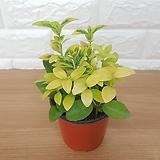 금사철 (소품) / 공기정화식물|