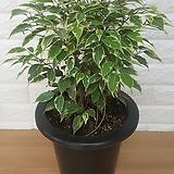 나타샤 벤자민 (중품) / 공기정화식물|