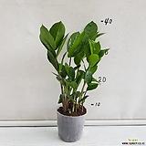 귀염Zamioculcas zamiifolia