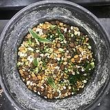 해오라비난초 포트묘 10촉|