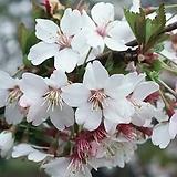 대왕벚꽃나무 외목수형 화분상품♥벚꽃 벗꽃 벚나무 벗나무 분재|